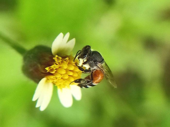 honey bee, wild