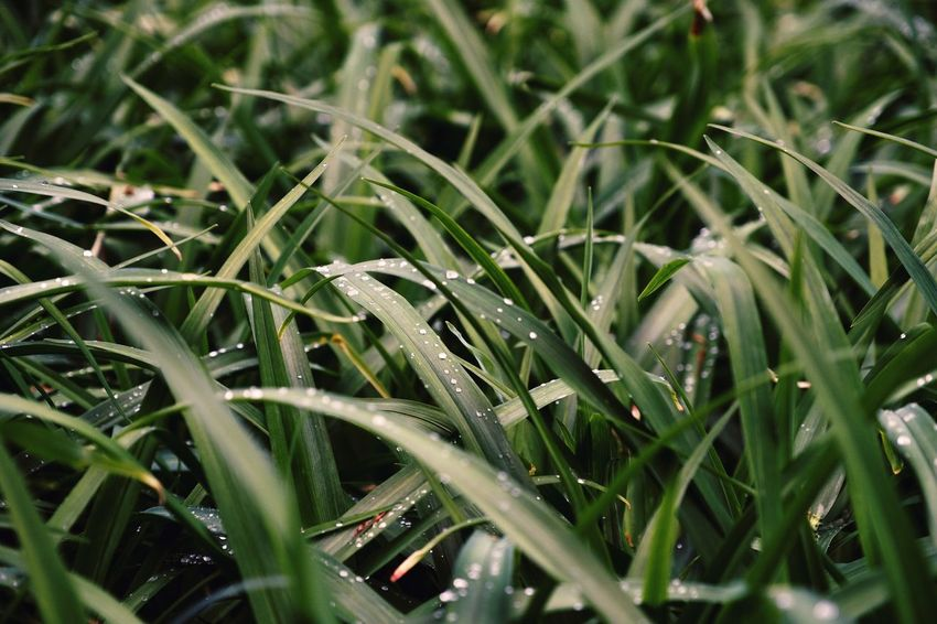 Growth Green Color Nature Plant Agriculture Freshness Grass Day Backgrounds Close-up No People Beauty In Nature