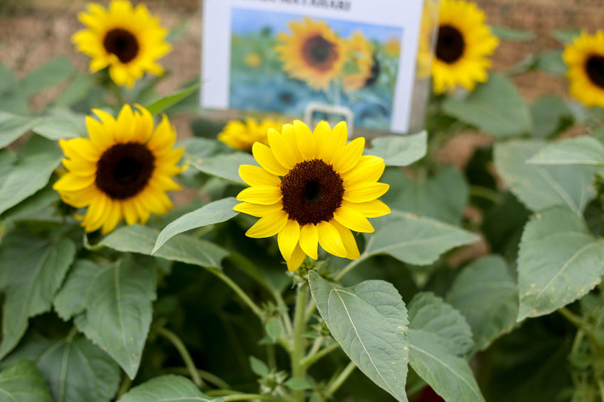 Flower Flowering Plant Yellow Freshness Plant Fragility Beauty In Nature Vulnerability  Growth Flower Head Petal Inflorescence Close-up Nature Leaf Plant Part Focus On Foreground No People Day Pollen Outdoors Sunflower