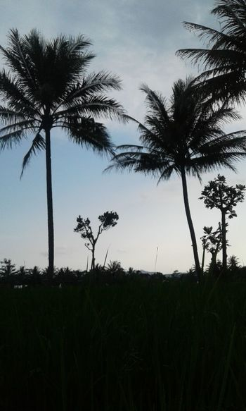 Nature Agriculture Countryside Landscape Tranquil Scene Rice Field Tranquility Before Sunset Coconut Trees Trees