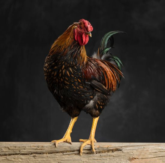 Domestic Animals Bird Animal Themes Chicken - Bird Animal Livestock Chicken Poultry Cockerel Agriculture Full Length Rooster Nature No People One Animal Domestic Pets
