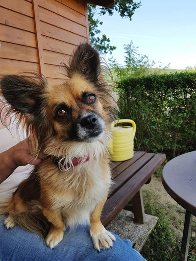 Dog Pets Outdoors Close-up Adult Human Hand Human Body Part Tree Sky Summer Chihuahua Outdoor Photography Outdoor Garden Wood Plant Green Color Landscape Nature Nature Photography Animal Photography Dog Photography One Animal Domestic Animals Mammal