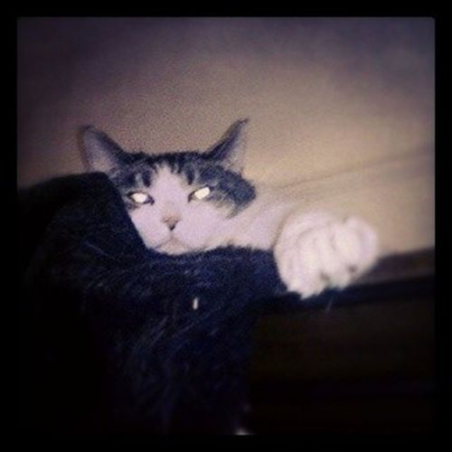 ♪♪Fat Cat on a little coat♪♪ Hansgruber Ilovemycat Catstagram Picoftheday