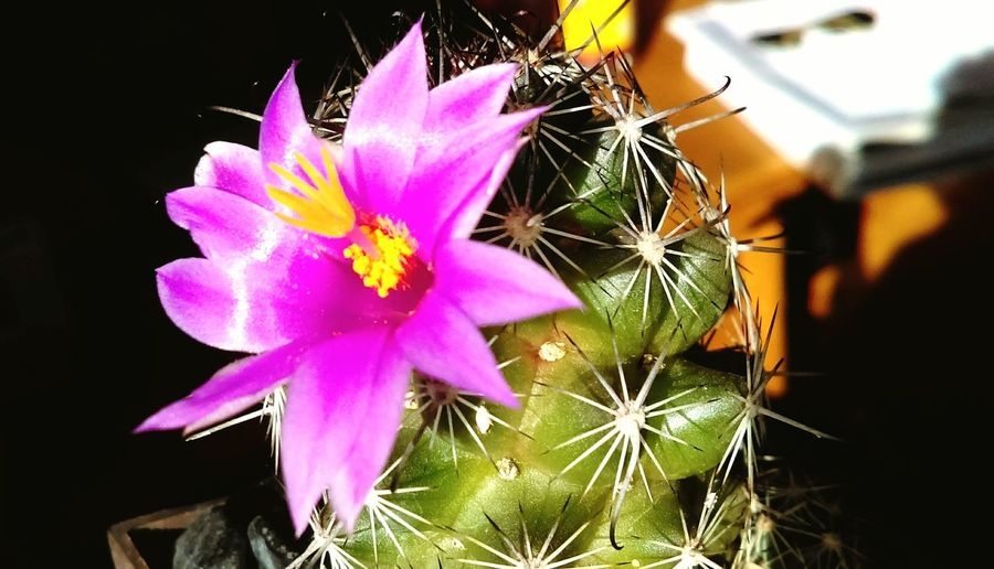 Enjoying Life Taking Photos Cactus Flower First Eyeem Photo