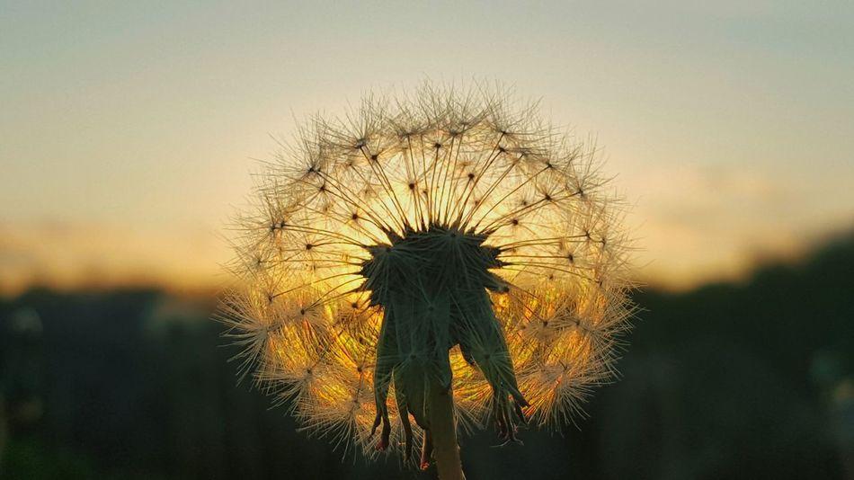 Make a wish ❤ Nature Sunset Beauty In Nature Sky Outdoors Sunset_collection Dandelion Creativity EyeEm Nature Lover EyeEm Gallery EyeEm Springtime