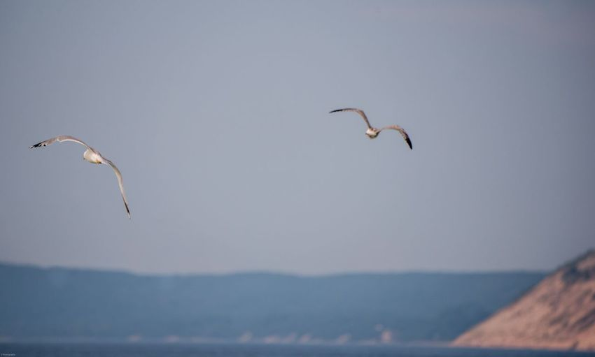 Pair of Seagulls Michigan EyeEm Selects Flying Animal Themes Sky Bird Animal Group Of Animals Vertebrate Animals In The Wild Animal Wildlife Mid-air Nature Water Sea Beauty In Nature Scenics - Nature Day Two Animals Outdoors Adventure No People