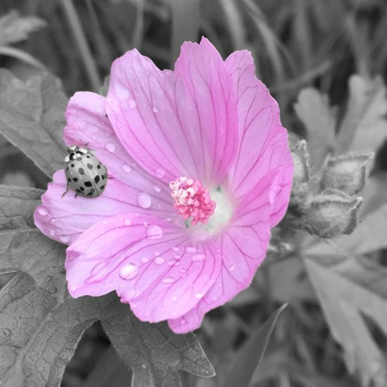 Wildflowers Waterdrops Pinkandgrey Photoart Ladybug Insects  EyeEm Nature Lover Pink Colorlover Nature