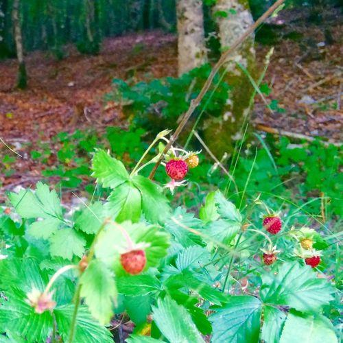 Strawberries Summer Italy