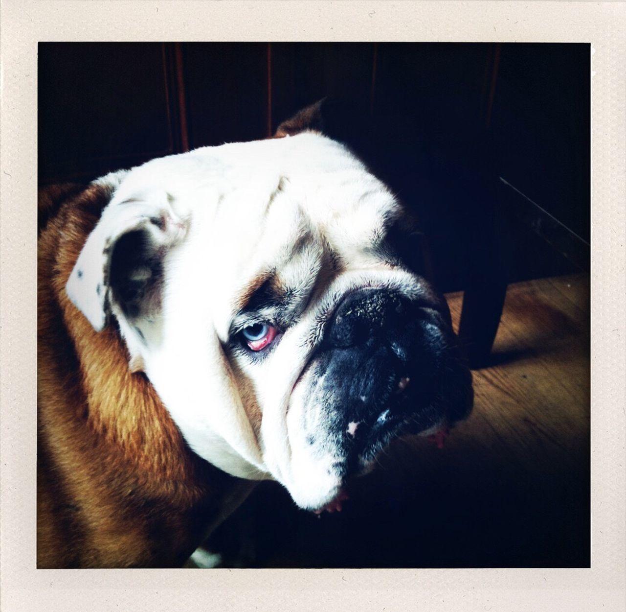 Close-Up Portrait Of British Bulldog At Home