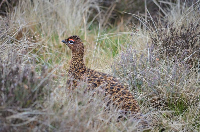 Animal Themes Animal Grass One Animal Animal Wildlife Animals In The Wild Vertebrate Plant Nature Bird No People Land Day Selective Focus Field Outdoors Looking Mammal Standing Focus On Foreground Wildlife By Tania Andreea Red Grouse