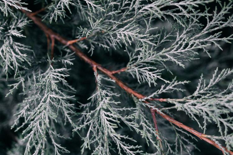 Full frame shot of pine tree during winter