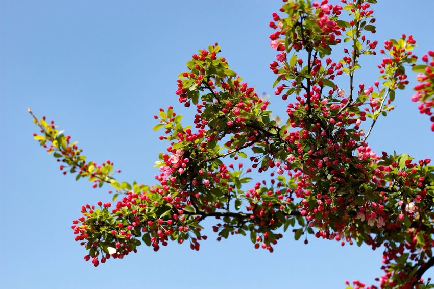 Hawthorn Meidoorn Blue Sky Plants Tree Spring 2016