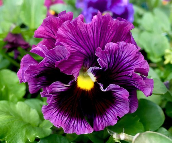 A Perfect Pansy