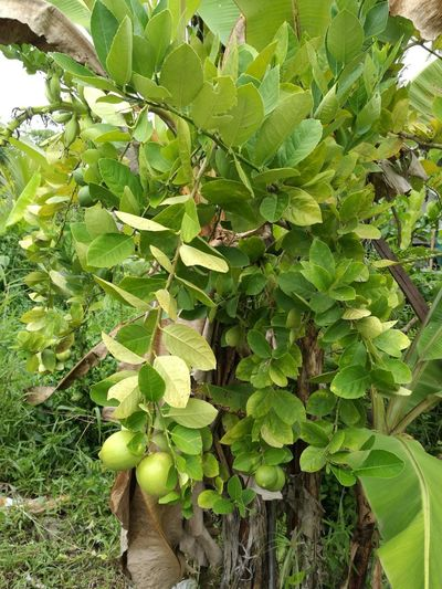 Lemons In The Wild Fruits Green Growth Green Color Nature Plant Day No People Leaf Outdoors Beauty In Nature Freshness Fruit Close-up Tree
