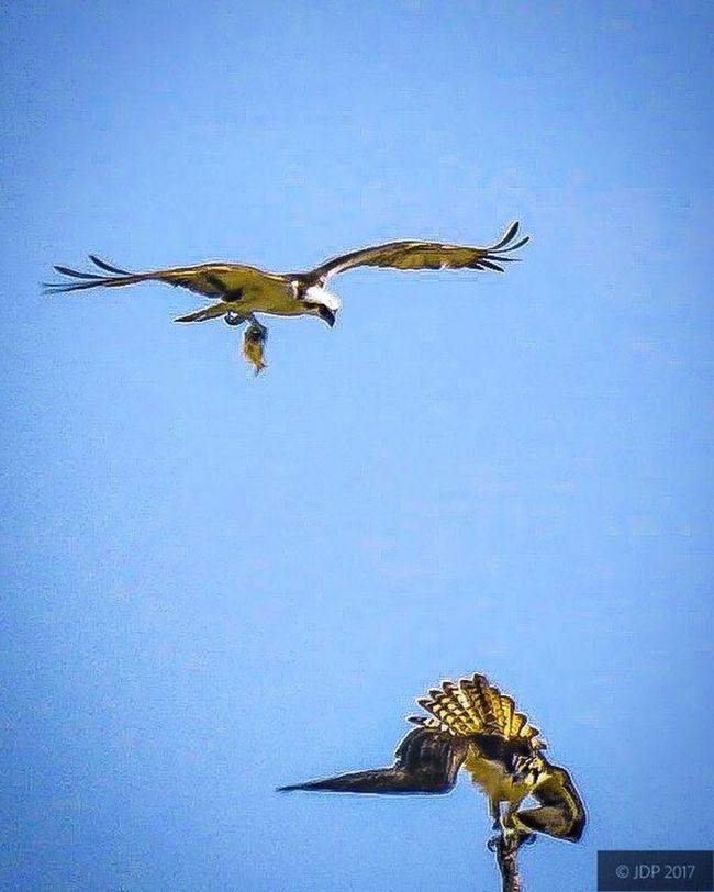 Bird Osprey In Flight Osprey With A Fish Bird Of Prey
