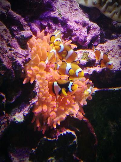 Nemo Coral Corallo Sea Acquariodigenova Italy Pesce Pagliaccio HuaweiP9 Oo Colour Of Life