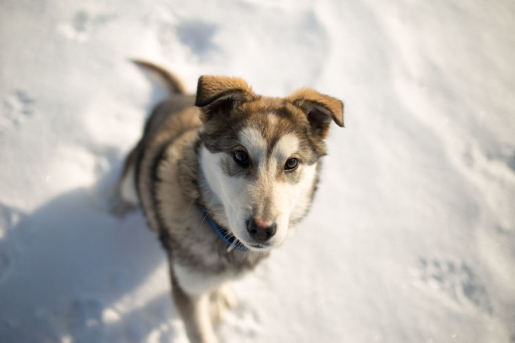 High angle portrait of dog on snow