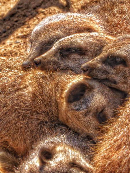 Taking Photos EyeEm Nature Lover Chester Zoo Photography Zoo Animals Meerkat Cuddling Keeping Warm Sleeping