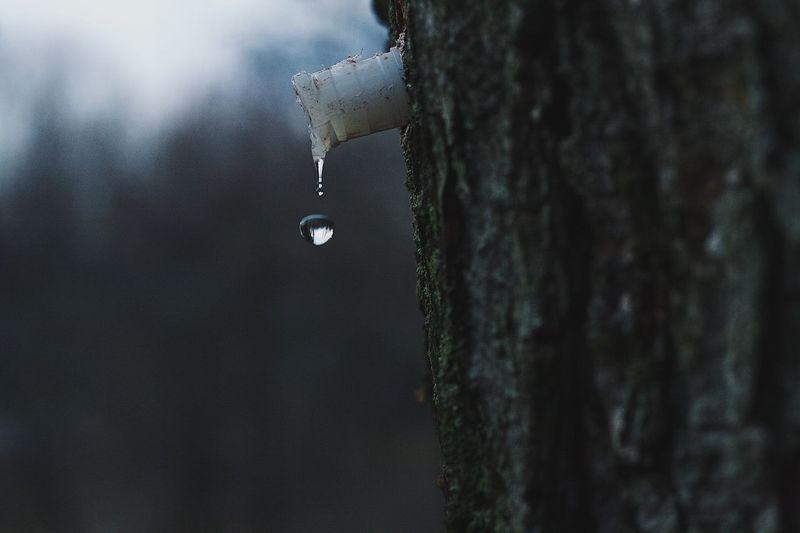 Drip Maple Maple Tree Maple Sap Drop Sap Close-up Focus On Foreground Tree Dripping Beauty In Nature Wet Leaking No People Outdoors Motion EyeEm EyeEm Best Shots Popular Photos Check This Out Nature Nature_collection Nature Photography Freshness High-speed Photography