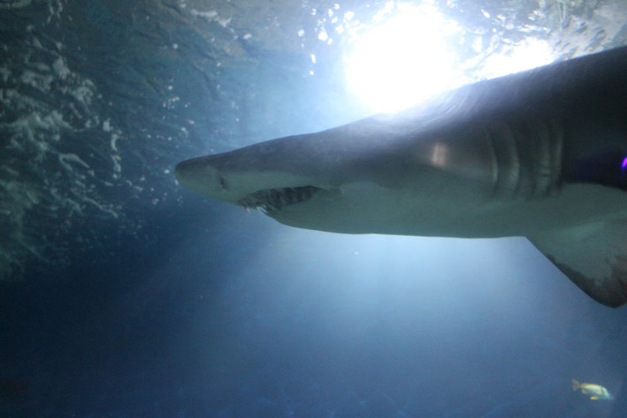 Animal Animal Themes Animals Aquarium Aquarium Life Aqurarium Light Nature Nature Photography Nature_collection Shark Sharks Swimming Water Water Reflections Water_collection