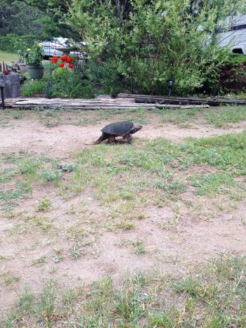 Mama turtle heading back to the water after laying her eggs on the driveway