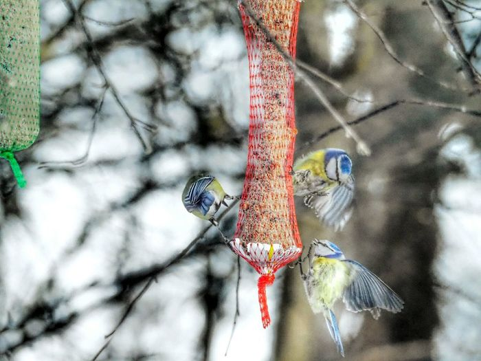 Nature_collection Nature Beauty Bird Eating Seeds Bird Flying Spreading Wings Flying Away Bird Wings Spread Wings Winter Nature Outside Bird Photography Bird Feeder Hanging Birdwatching Beautiful Nature Nature Cold Weather Tree Branch Hanging Representing Close-up