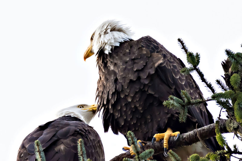 Pair of Eagles Perched in a Tree Animal Photography Animal Themes Animal Wildlife Animals In The Wild Animals In The Wild Bald Eagle Bird Bird Of Prey Bird Photography Bird Watching Birds Of EyeEm  Birds_collection Birdwatching Curious Day Feathers Looking Down From Above No People Outdoors Pattern View From Below White Background Wildlife & Nature Wildlife And Nature Wildlife Photos
