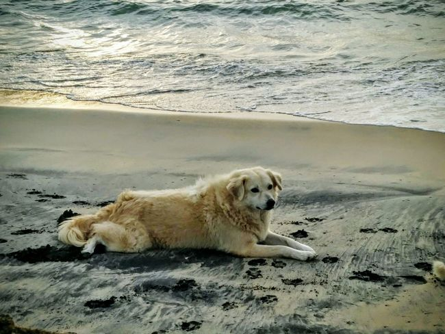 Majestic Beach Sand Dog Animal Sea One Animal Mammal Outdoors Nature Day Water Pets Relaxation Animal Themes No People Portrait Beauty In Nature