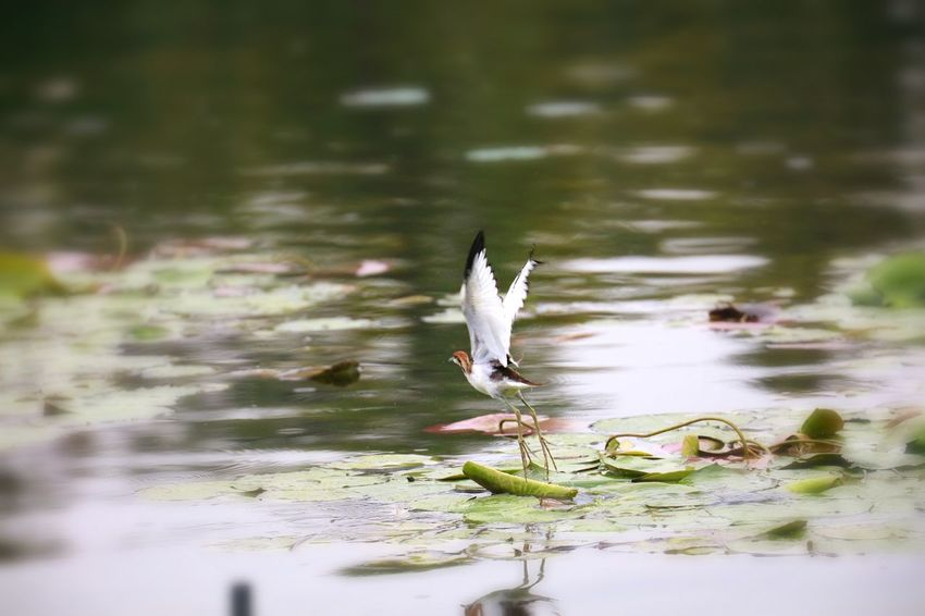 Water Bird Vertebrate Animal Themes Animal Animal Wildlife Animals In The Wild Lake One Animal Beauty In Nature Nature Waterfront No People Day Reflection Outdoors Swimming Floating Floating On Water
