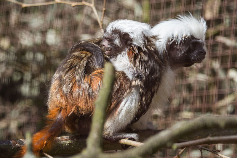 Lisztäffchen mit Baby auf dem Rücken - Saguinus oedipus with baby on his back Animal Animal Family Animal Themes Animal Wildlife Animals In The Wild Canine Day Dog Domestic Domestic Animals Group Of Animals Liszt Monkey Mammal Nature No People Outdoors Pets Portrait Primate Saguinus Oedipus Selective Focus Two Animals Vertebrate Young Animal