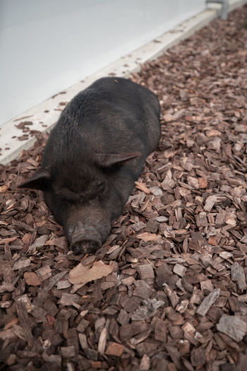Pig Animal Themes Animal One Animal Mammal Pets Domestic Domestic Animals Vertebrate No People High Angle View Relaxation Eyes Closed  Day Close-up Sleeping Nature Resting Selective Focus Dog
