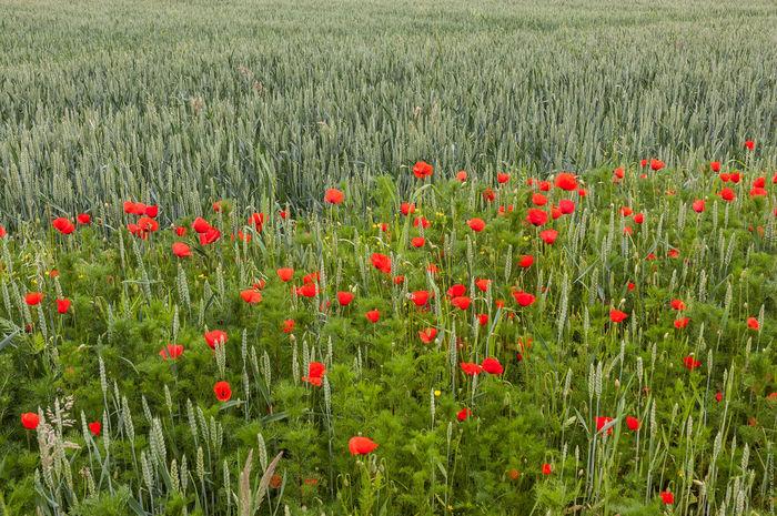 Coquelicot Fleurs Flowers Poppy Poppy Fields Poppy Flowers