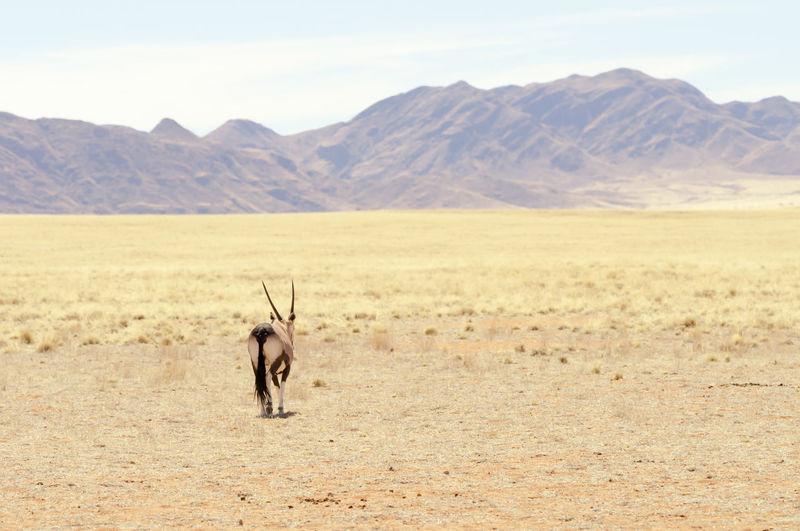 Oryx walking at desert