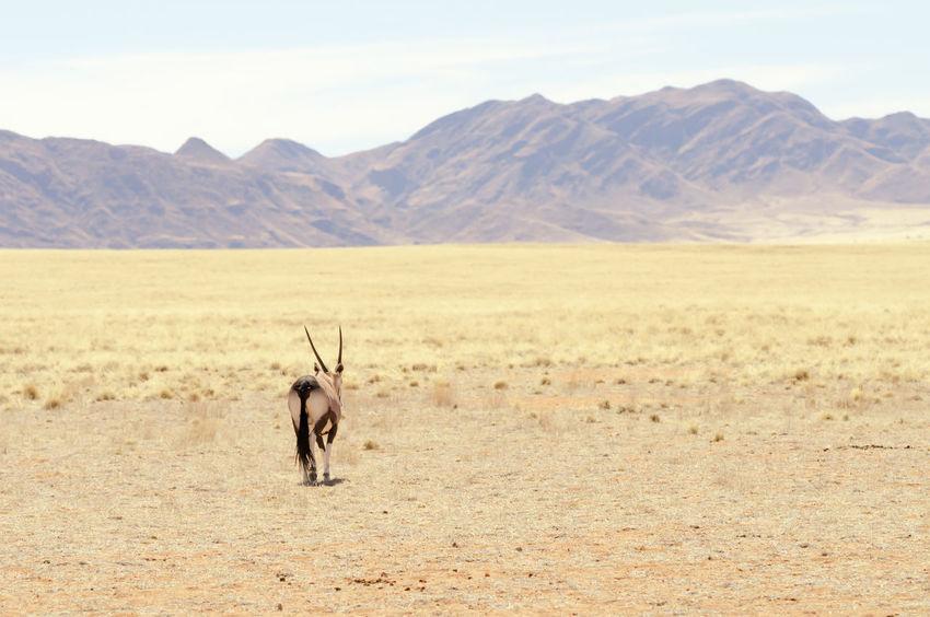 Oryx in a desert landscape Africa Animal Antelope Landscapes Desert Desolate Gemsbok Heat Kalahari Feel The Journey Nature's Diversities Mountain Namibia Nature Oryx Oryx Gazella Nature Photography Original Experiences Desert Life Lost In The Landscape