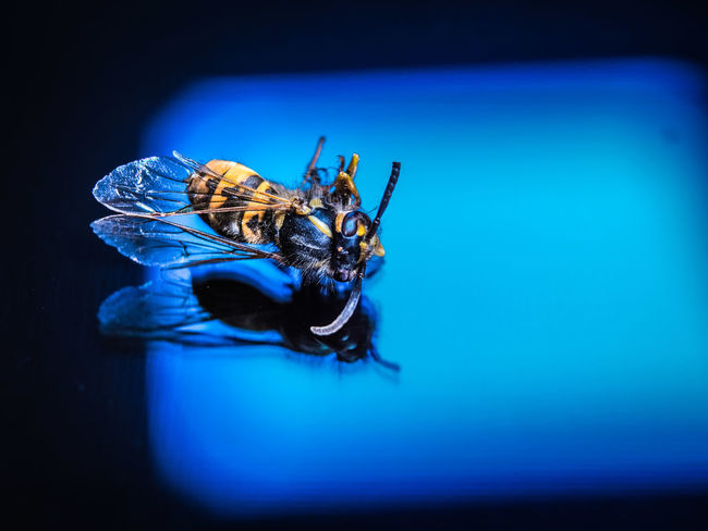macro wasp in the mirror Black&Yellow Macro Photography Mirror Reflection Animal Themes Blue Close-up Detail Macro One Animal Reflection_collection Wasp Wasp Macro Wings