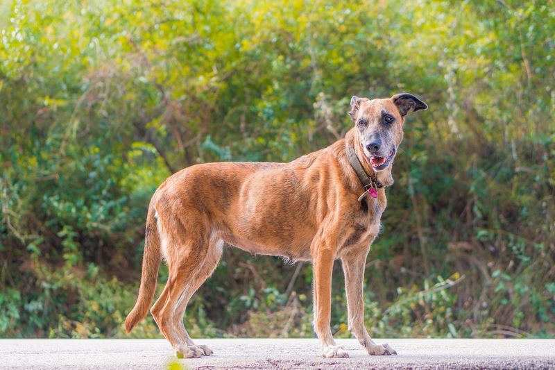 One Animal Mammal No People Domestic Animals Vertebrate Focus On Foreground Dog Dogslife Pet Portraits Animal Themes Animal Canine Standing Domestic Pets Brown Day Full Length Plant Side View Nature Portrait Outdoors Mouth Open Purebred Dog