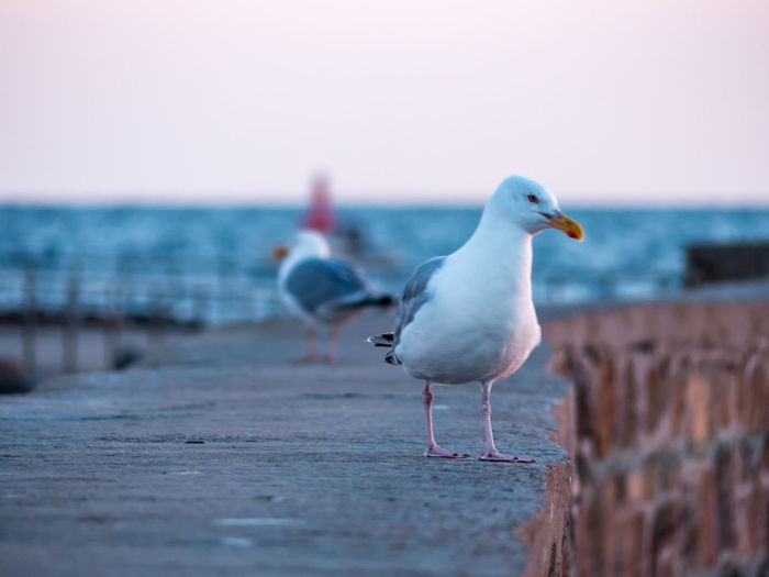 Seagull perching on stone wall at beach against sky