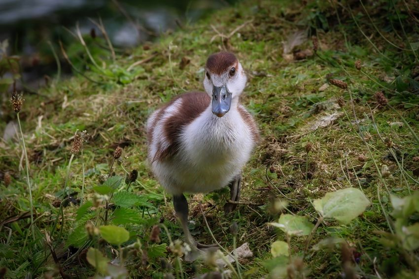 Egyptian Gosling Animal Animal Themes Animal Wildlife Animals In The Wild Bird Day Field Goose Gosling Grass Land Nature No People One Animal Outdoors Plant Selective Focus Vertebrate Young Animal Young Bird Zoology