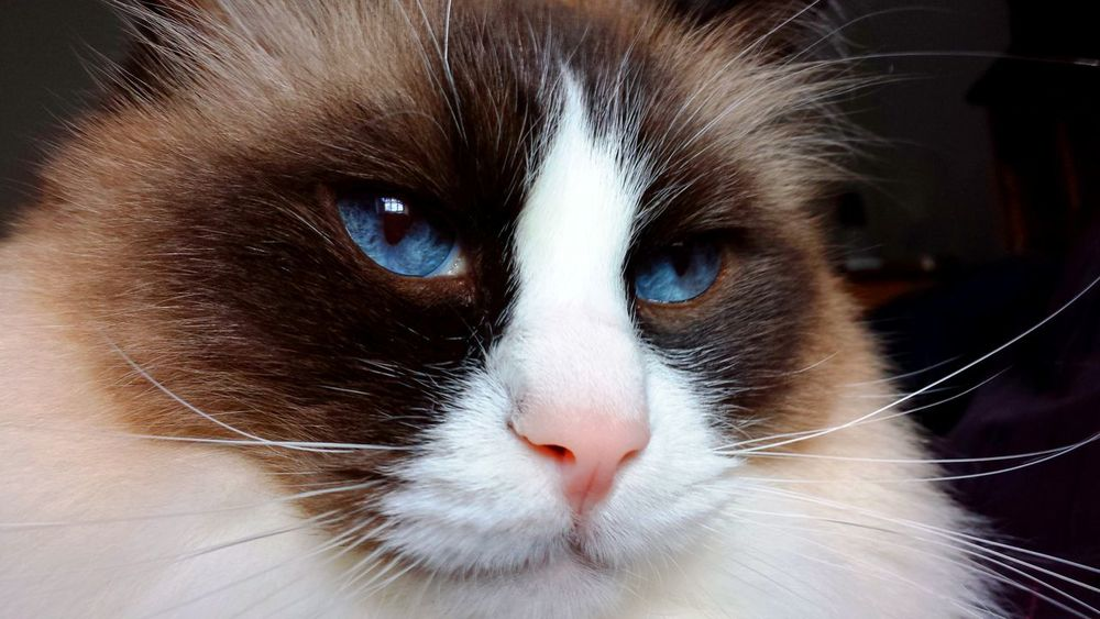 Cats Of EyeEm Blue Eyed Animal Head  Animal Themes Best Of EyeEm Blue Eyes Cat Art Cat Eyes CAT IN THE SUN Cat Model Close Up Color Contrast Contentment Domestic Cat Longhaired Cats One Animal Pets Purr-sonality Seal Mitted Whiskers EyeEm Gallery Cat Photography