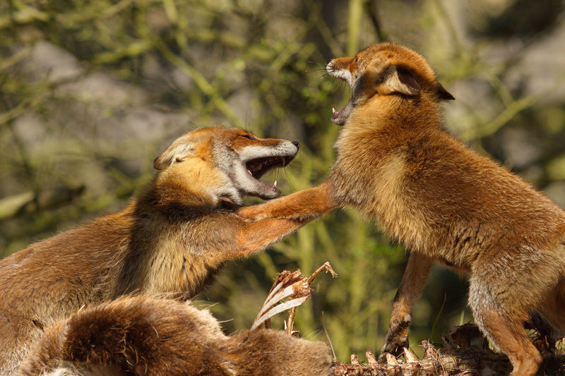 Foxes fighting over carcass in forest