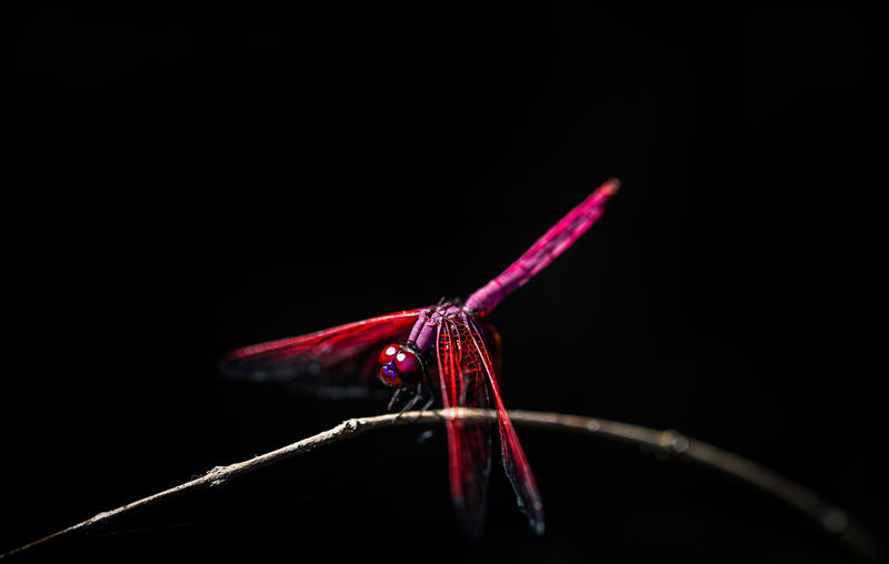Animal Behavior Animal Themes Black Background Close-up Dragonfly Focus On Foreground Insect Multi Colored Natue No People One Animal Pink Color Red Red Color Studio Shot Zoology