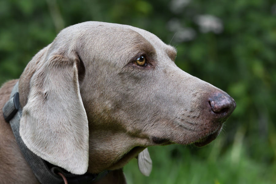 Arno Animal Themes Close-up Closeup Day Dog Domestic Animals Focus On Foreground Gray Hair Green Background Mammal No People One Animal Outdoors Pets Portrait Side Portrait Weimaraner Yellow Eyes
