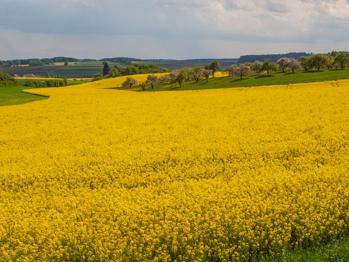 Landscape Yellow Scenics - Nature Beauty In Nature Land Environment Field Agriculture Plant Rural Scene Tranquil Scene Oilseed Rape Flower Farm Sky Crop  Growth Tranquility No People Nature Outdoors Springtime