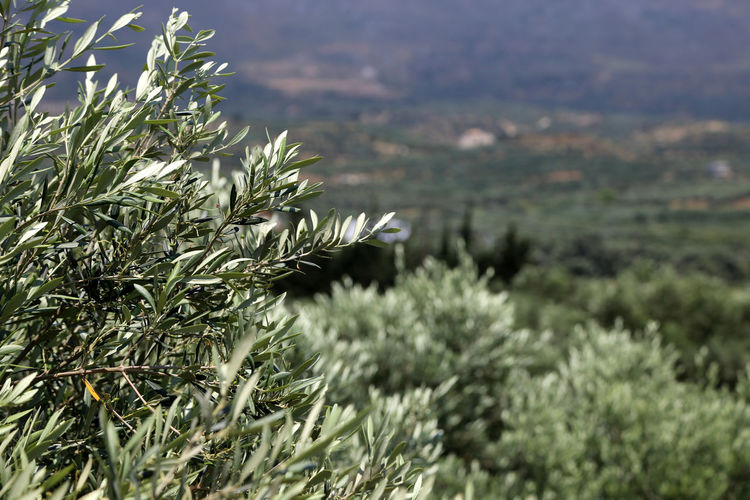 Detail of an olive grove Beauty In Nature Close-up Day Field Growth Nature No People Olie Olive Tree Olive Tree Detail Olive Tree Landescape Outdoors Plant Scenics Thistle