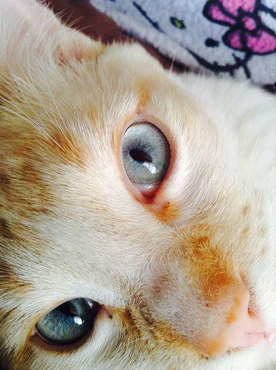 Chief BabyBlueEyes My Cat Catdomination Cat♡ Beautiful Eyes