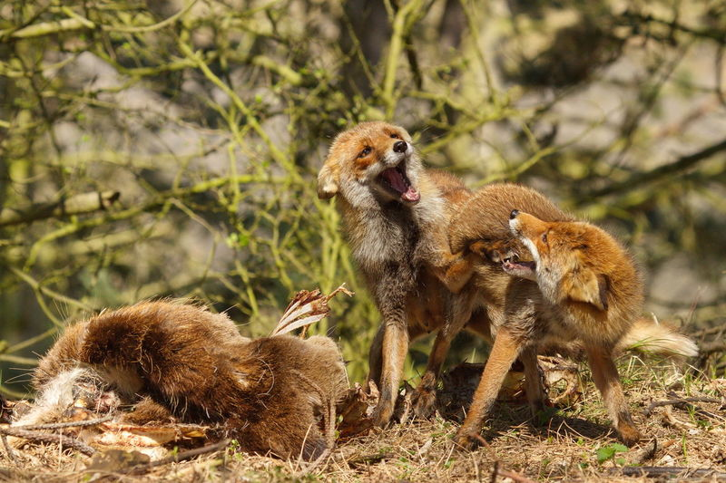 Red foxes fighting in forest at amsterdamse waterleidingduinen