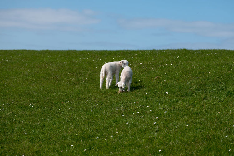 Baby lamb on green grass with blue sky