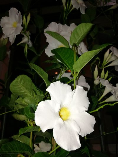 Flower White Color Petal Flower Head Close-up Fragility Beauty In Nature Plant No People Nature Freshness Peony  Day Outdoors White Flower White Flowers White Flowers,Plants & Garden Dipladenia Sanderi Dipladenia Mandevilla Mandeville