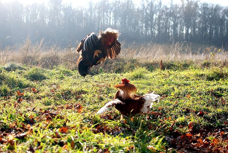 Roosters fighting on grassy field