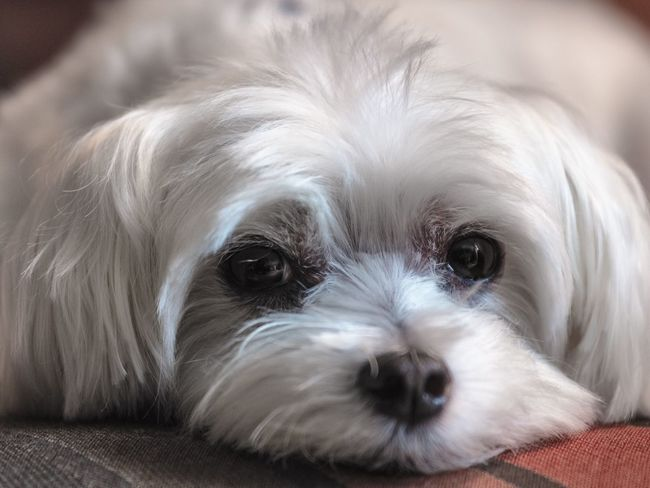 Pets Corner Maltese Dog Dogs Cute Pets Close-up